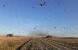 Argentina aplica veneno contra gafanhotos; RS mantém alerta (Foto: Divulgação/Governo da Província de Córdoba)