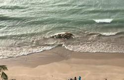 Baleia é encontrada em decomposição na praia de Boa Viagem  (Reprodução/WhatsApp)
