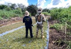 Operação destrói 5,8 mil pés de maconha no Sertão pernambucano (Foto: Divulgação/PF.)