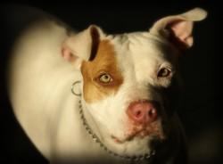 Pitbull mata uma criança e deixa outra ferida em Goiás (O cachorro foi encaminhado para exames e testes e, mesmo morto, testemunhas queriam estrangulá-lo. Foto: Reprodução/Pixabay)