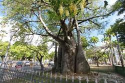Dia do Baobá: árvore que mantém viva parte da identidade do Recife (Foto: Teresa Maia/DP/D.A.Press)
