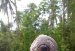 Cachorro nasce com apenas um olho e duas línguas nas Filipinas (Filhote, batizado de Ciclope, nasceu em ninhada de seis cães, mas teve dificuldades para se alimentar e até para respirar. Foto: Reprodução/Facebook)