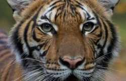 Tigresa de zoológico em Nova York testa positivo para o coronavírus (Foto: Wildlife Conservation Society/AFP)