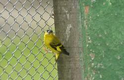Pássaro nativo do Nordeste corre risco de extinção  (CPRH/Divulgação )