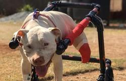Pitbull que teve patas decepadas ganha cadeira de rodas em Belo Horizonte (Foto: Ticiana Lima Dornas)