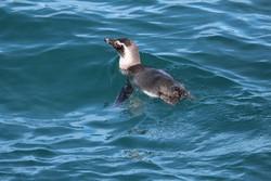 Litoral de São Paulo tem aparição recorde de pinguins e baleias (Foto: Instituto Argonauta / Divulgação)