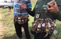 """Operação """"Mangue Seguro"""" devolve ao habitat natural 279 espécies ameaçadas de extinção  (Foto: Polícia Civil/ Divulgação)"""