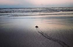 Cerca de 109 tartarugas-de-pente nascem na praia de Enseadinha, em Paulista (Foto: Divulgação)