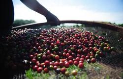 Pesquisa da Conab indica queda na produção de café nacional em 2021 (Marcelo Camargo/Agência Brasil)