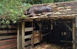 Vaca é resgatada após ficar presa em telhado em Santa Catarina (Foto: Corpo de Bombeiros/Divulgação)