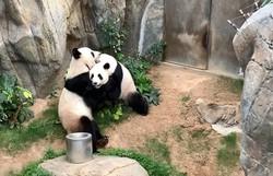 Pandas aproveitam zoológico vazio na quarentena para acasalar após dez anos (Foto: Reprodução/Twitter)