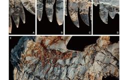 Fóssil achado em MG pode revelar novidades sobre dinossauros (Foto: Muséum National d'Histoire Naturelle/Divulgação )