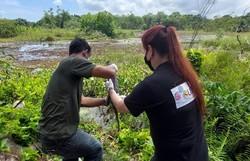 Parque de Dois Irmão realiza soltura de jacarés-de-papo-amarelo  (Foto: Semas/Divulgação)
