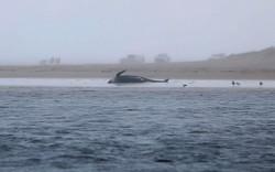 Ao menos 380 baleias morrem encalhadas no sul da Austrália (Foto: Patrick GEE / THE MERCURY / AFP)