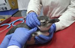 Petrobras resgatou este ano 3.084 pinguins nas praias brasileiras (Foto: Divulgação/Agência Petrobras)