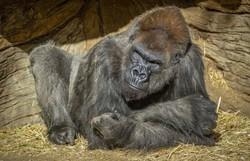 Gorila tratado com anticorpos sintéticos superou quadro grave de Covid-19 nos EUA (Foto: Ken Bohn / San Diego Zoo Global / AFP)