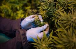Província canadense classifica Cannabis como 'essencial' e mantém produção durante quarentena (Foto: Arquivo/AFP)
