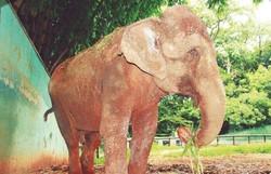 Elefanta indiana viaja mais de mil quilômetros até Santuário de Elefantes do Brasil (Foto: Divulgação )
