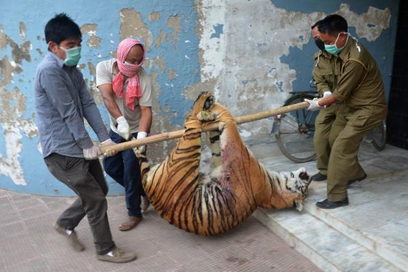 Guarda florestal carrega corpo de uma tigresa  morta após supostamente atacar uma vila perto de  Dimapur, na Índia. Foto: Caisii Mao/AFP - Caisii Mao/AFP