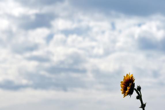 FOTOS DO DIA  (Um girassol sobe para um céu nublado em um campo perto da aldeia bávara de Puchheim, sul da Alemanha, em 7 de agosto de 2019. (Foto de Christof STACHE / AFP))