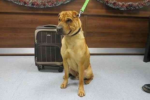 O cão foi abandonado após a compradora perceber que ele não era igual ao anúncio. Foto:Scottish SPCA/ Divulgação