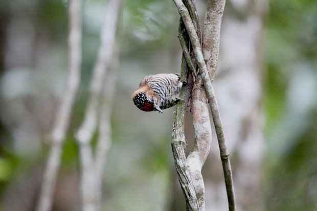 Programa é capaz de identificar som de pássaros e outros animais. Foto: Gaio Torquato/Flickr/Reprodução