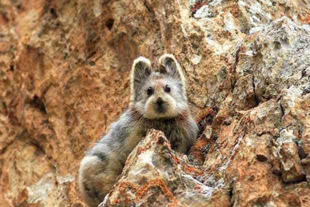 """""""Coelho mágico"""" é espécie ameaçada de extinção. Foto: Weidong Li/Wikimedia Commons/Reprodução"""