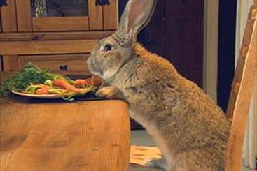 Darius é a continental giant rabbit. Foto: YouTube/Reprodução