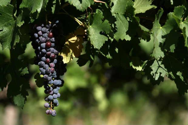 A uva argentina apresenta constante qualidade de suas safras. Foto: Porto a Porto/ Divulgação.
