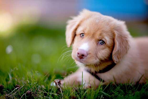 É pelo olhar que o cachorro estabelece a conexão com o ser humano e consequente liberação de ocitocina. Foto: Pål-Kristian Hamre/ Flickr