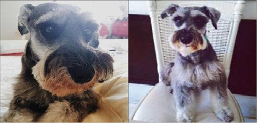 O cão Charles Henrique, de 3 anos, da estudante Sofia Berenstein está curado da gripe. Foto: Reprodução/Arquivo pessoal