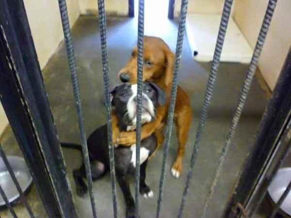 Cãe se abraçam antes de serem sacrificados. Fotos: Reprodução/Facebook/ Angels Among Us Pet Rescue
