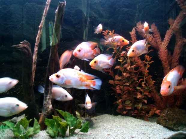 Aquário deve ser mantido em boas condições, já que é onde os peixes ficam 24 horas. (Foto: Domínio público)