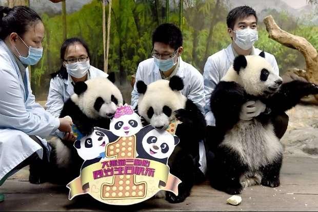 """Cuidadores celebram aniversários de pandas trigêmeos no """"Chimelong Safari Park"""", em Guangzhou, sul da China. Foto: Liu Dawei/Xinhua"""
