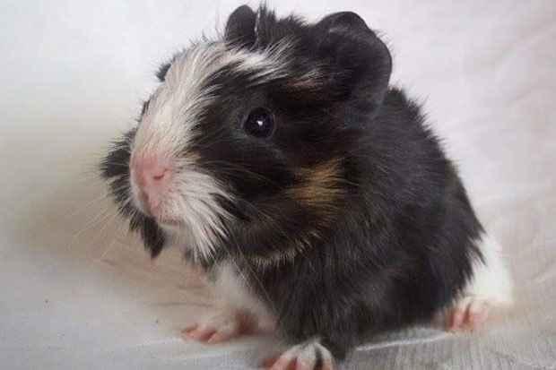 Bichinho tem facilidade de adaptação. Foto: Lisly Gomide/Mini Pets/Divulgação