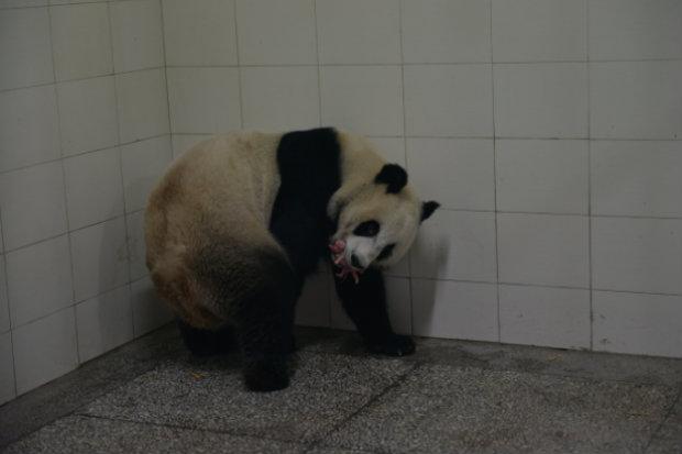 Panda Lin Bing dá à luz a um de seus filhotes no início de agosto. (Foto: Reprodução/chinapanda.org.cn)