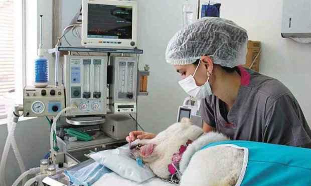 Cirurgia de castração deve ser sempre realizada em bloco cirúrgico bem-estruturado. Foto: Arquivo/Clínica Ártemis