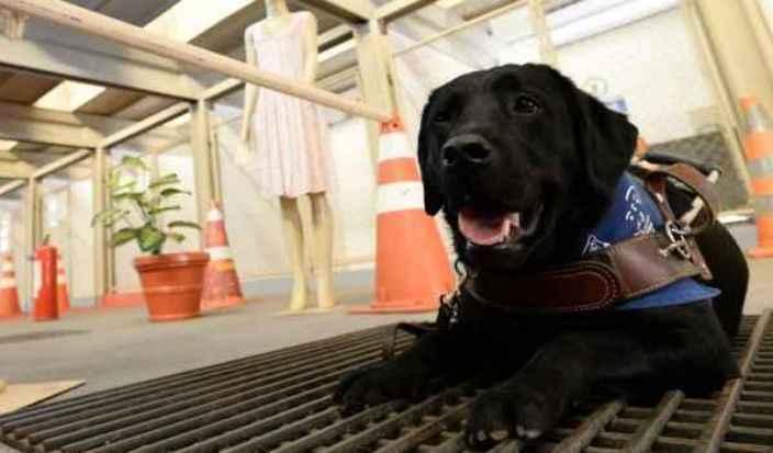 Os cães da raça labrador são treinados, em média, por dois anos, antes de serem entregues a um cego: fila de espera com mais de 300 pessoas. Foto: Carlos Vieira/ CB/ D.A Press