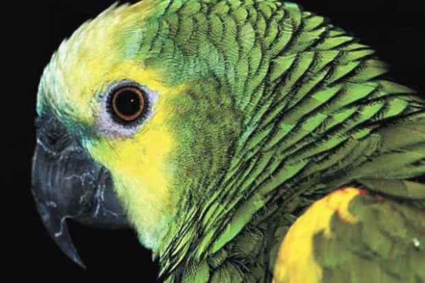 Papagaio domesticado é excelente imitador, mas não sabe o significado das palavras (Papagaio domesticado/Reprodução da internet)