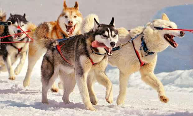 Husky siberiano é originário da Rússia e foi criado para puxar trenós. Fotos: Tudosobrecachorros.com/Reprodução
