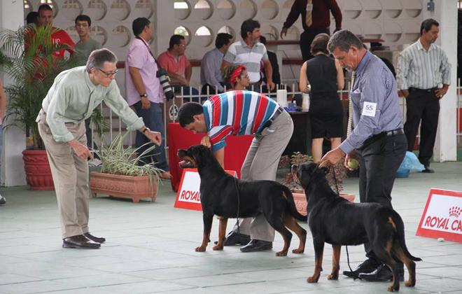 Haverá  uma exposição especializada da raça Rottweiler. Foto: Kennel Club/Divulgação