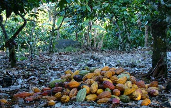 Os primeiros plantios de cacau foram feitos no ano de 1752 e as mudas extraídas no estado do Amazonas. Foto: Alfredo Duraes/EM/D.A. Press