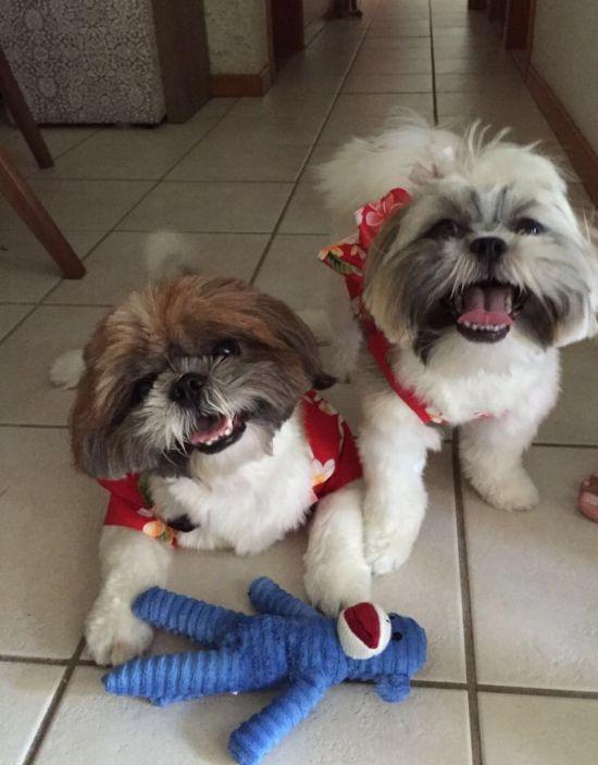 Os shitzus Thor e Bella ficam ansiosos para a hora do passeio. Foto: Divulgação
