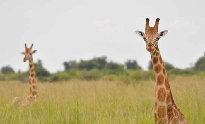 A girafa-núbia, primeira a ser descrita, se torna agora uma subespécie da girafa-do-norte, uma das mais ameaçadas de extinção. Foto: Julian Fennessy/Divulgação