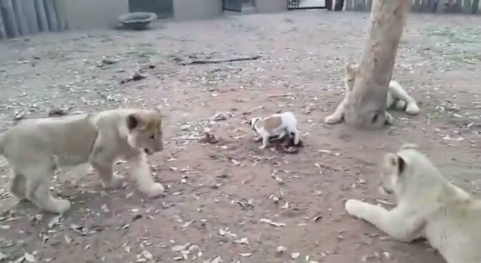 A valente Dory encara três filhotes de leão. Foto: YouTube/Reprodução