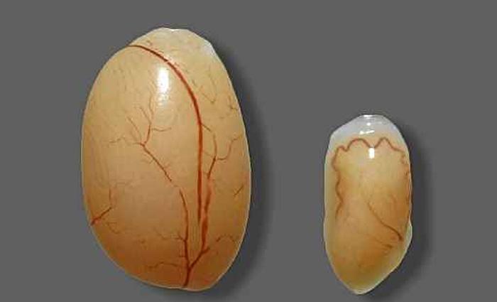 O vírus também afetou o testículo dos roedores: glândula menor à direita. Foto: Prabagaran Esakky/Divulgação