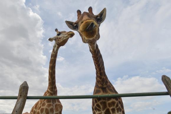 A população mundial de girafas sofreu redução de 40% nos últimos 30 anos, passando de 155 mil em 1985 para pouco mais de 97 mil em 2015. Foto: Arquivo/EBC (A população mundial de girafas sofreu redução de 40% nos últimos 30 anos, passando de 155 mil em 1985 para pouco mais de 97 mil em 2015. Foto: Arquivo/EBC)