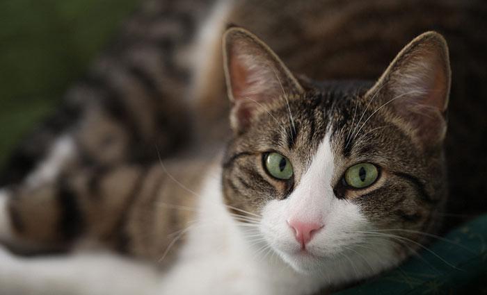 O motivo que justificaria esse comportamento submisso seria o efeito que a toxoplasmose - infecção causada pelo contato com gatos - causa no cérebro. Foto: dorinser/Flickr/Reprodução