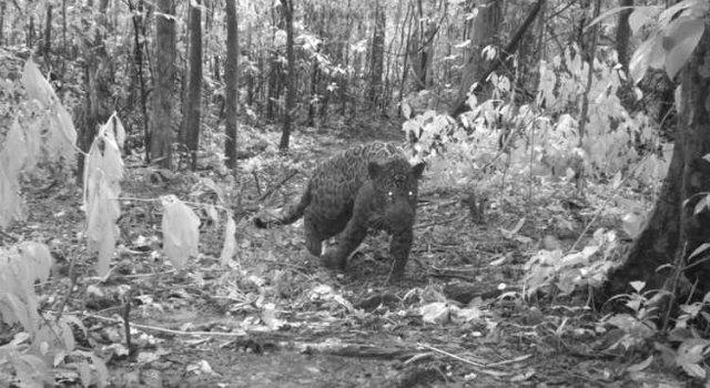 Imagens feitas por uma armadilha fotográfica com flashes infravermelhos flagraram a onça-pintada momentos antes da captura. Foto: Correio Braziliense/Reprodução