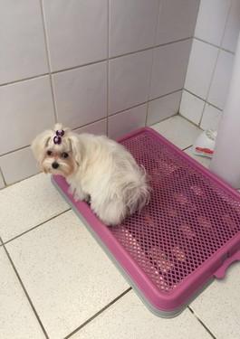 Charlotte só usa o banheirinho: em quatro meses de treino, ela aprendeu o comando. Foto: Reprodução/Whatsapp